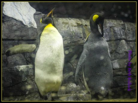 Penguins at the Newport Aquarium. DearKidLoveMom.com