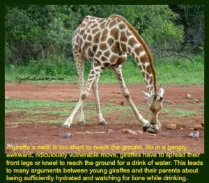 a giraffe's neck is too short to reach the ground. So in a gangly, awkward, ridiculously vulnerable move, giraffes have to spread their front legs or kneel to reach the ground for a drink of water. This leads to many arguments between young giraffes and their parents about being sufficiently hydrated and watching for lions while drinking. DearKidLoveMom.com