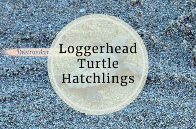 Loggerhead Turtle Hatchlings