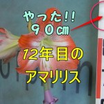 12年目のアマリリス茎が伸びるは90㎝ギネス更新か