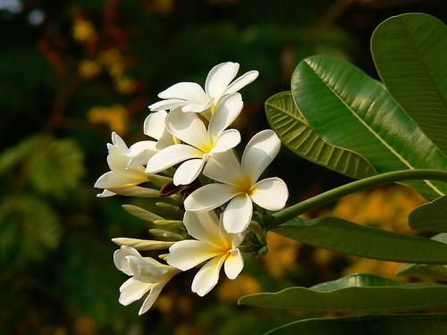 flores-aleli