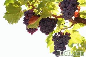 vinogradnaya-dieta