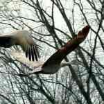 Sandhill Crane Migration Brings Visitors To Our Yard NO text