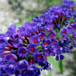 Top Fragrant Flowers and Shrubs For Your Garden NO text