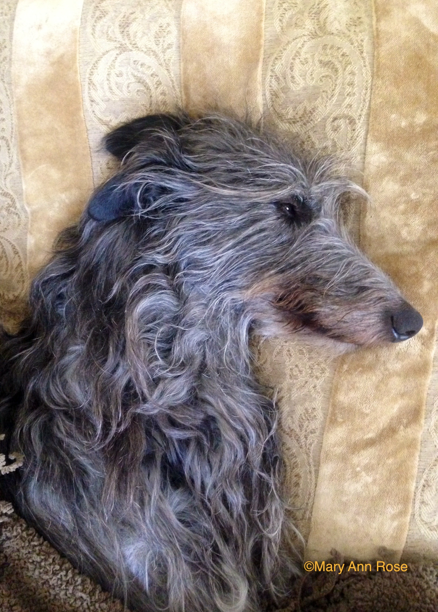 Breed Information – The Scottish Deerhound Club of America