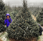 Ticks in Your Christmas Tree? Yeah, It's Possible