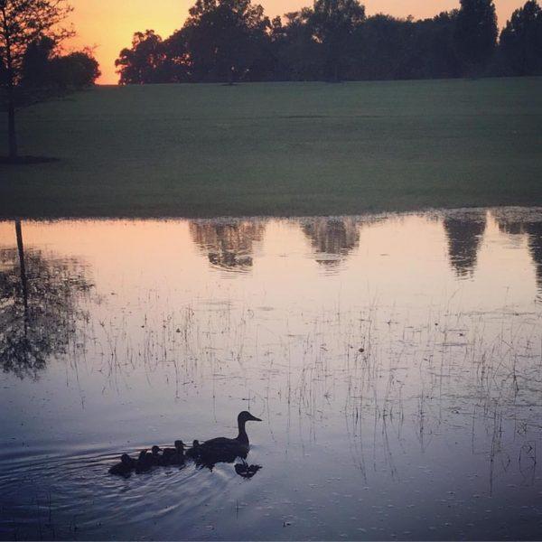 baby ducks photo contests