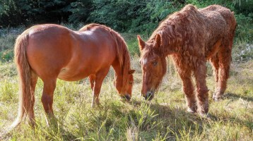 two Suffolk Punch horses, left horse is healthy, right has advanced Cushing's disease