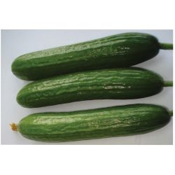 Small Crop Of Zucchini Vs Cucumber