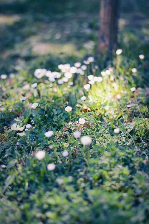Marguerites flowers
