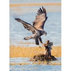 Small Crop Of Hawk Vs Eagle
