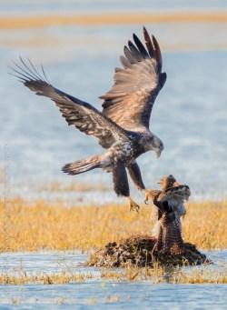 Small Of Hawk Vs Eagle