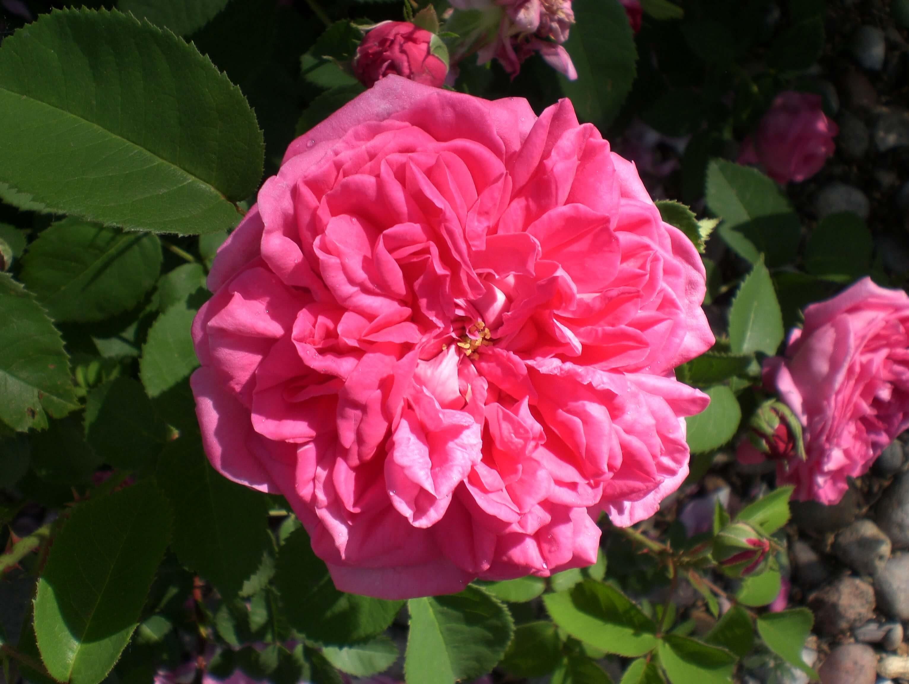 Fullsize Of High Country Roses