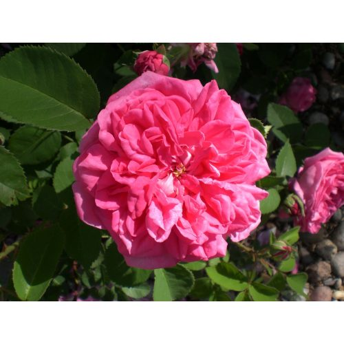 Medium Crop Of High Country Roses