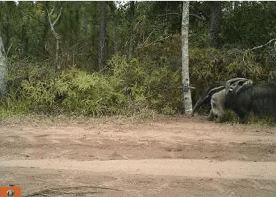 Tamanduá-bandeira corre risco de extinção no Cerrado de São Paulo