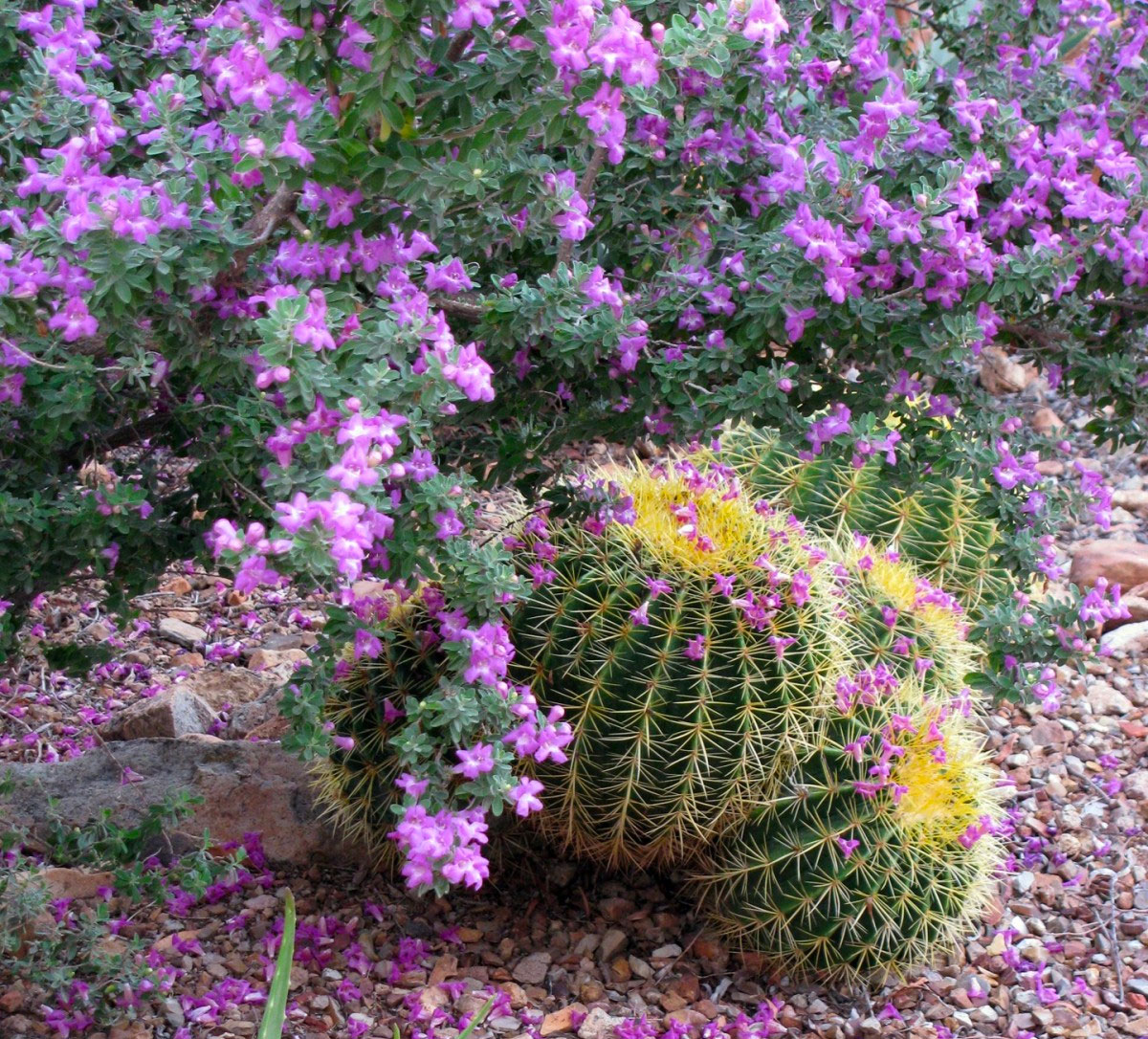 Relaxing If You Missed Prime October Planting You Can Still Continuefall Planting Although Plants Will Establish Slower November Is A Month To Get Outdoors Desert houzz-03 Texas Ranger Plant
