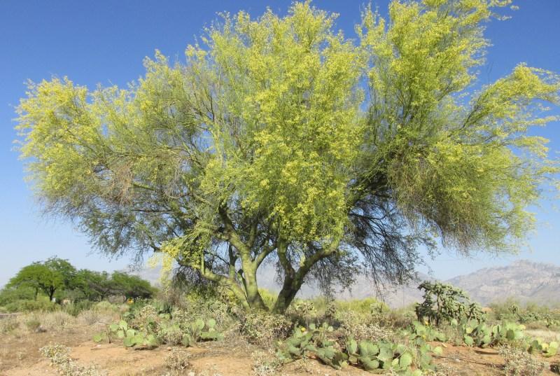 Large Of Desert Museum Palo Verde