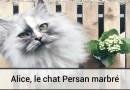 Alice, le chat Persan marbré
