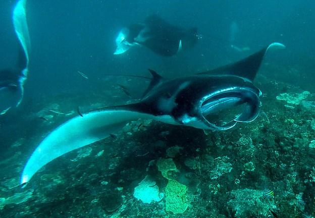 Manta rays at Nusa Penida Bali.