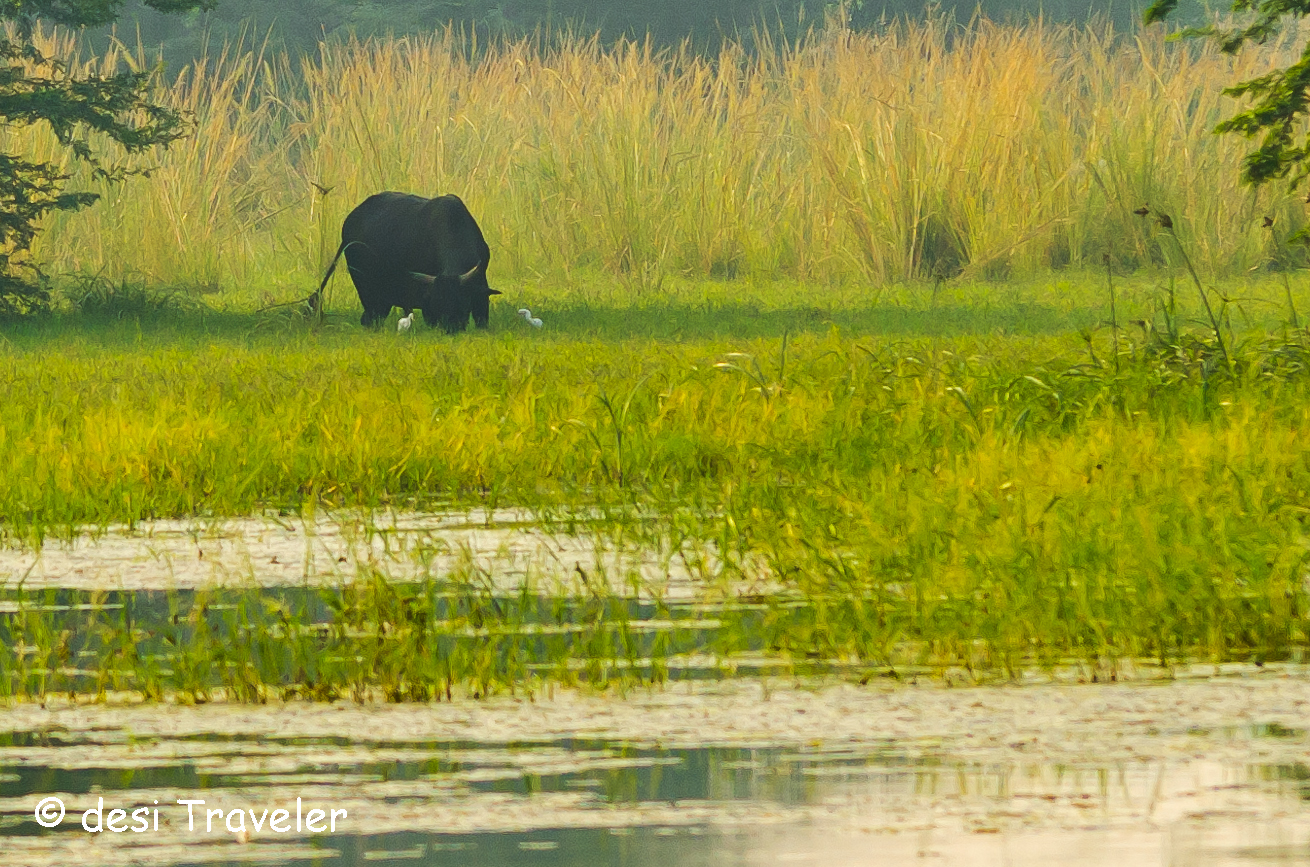 A big bull in Sultanpur Grasslands