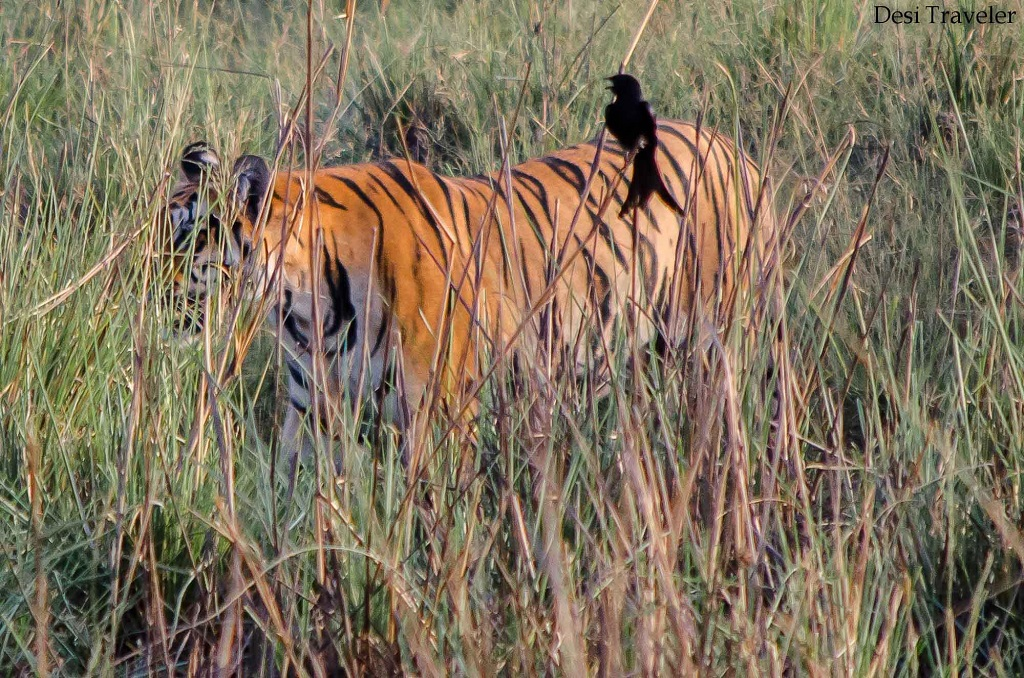 Tiger in Grass in Tadoba