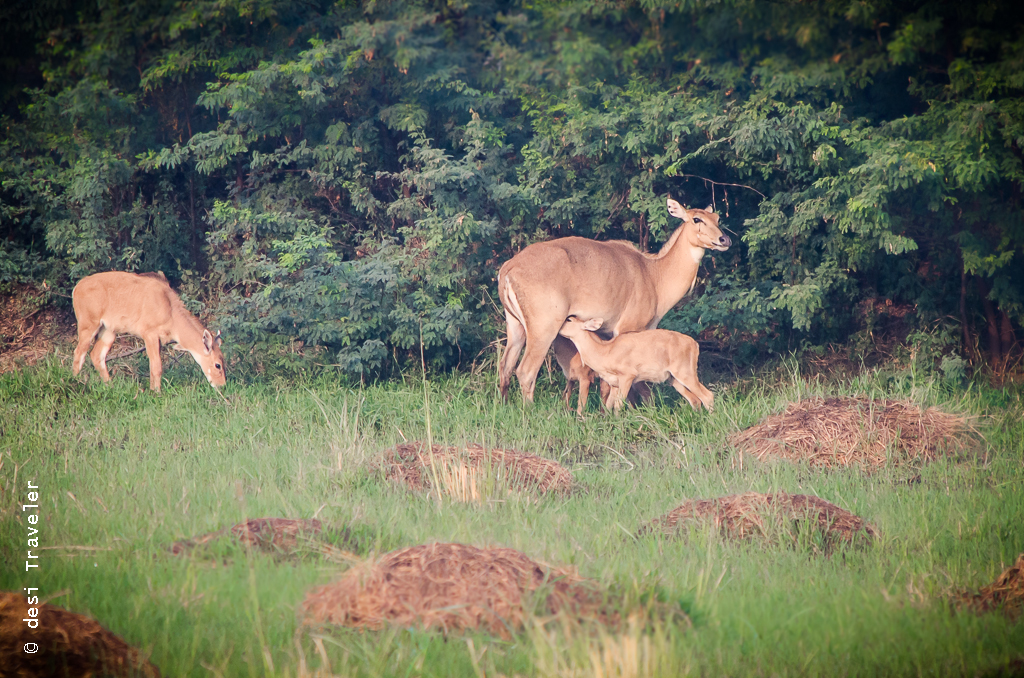 Nilgai with fawn Sultanpur Bird Sanctuary
