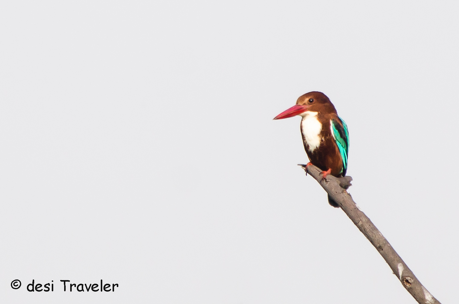 White Throated Kingfisher Sultanpur Bird Sanctuary