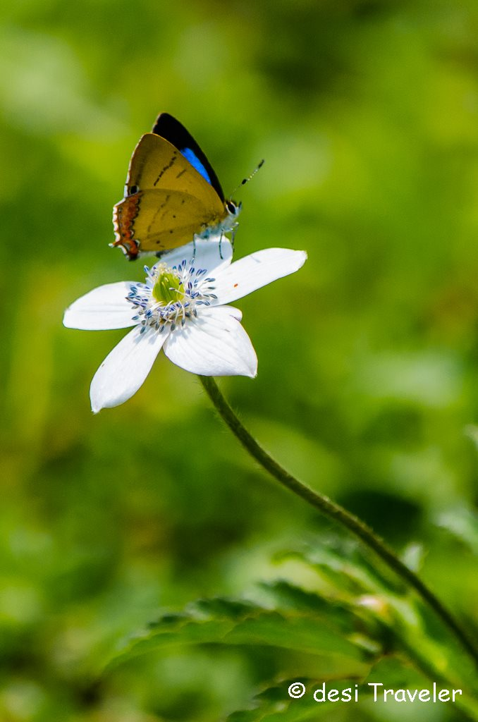 Butterfly on wild flower Himalayas