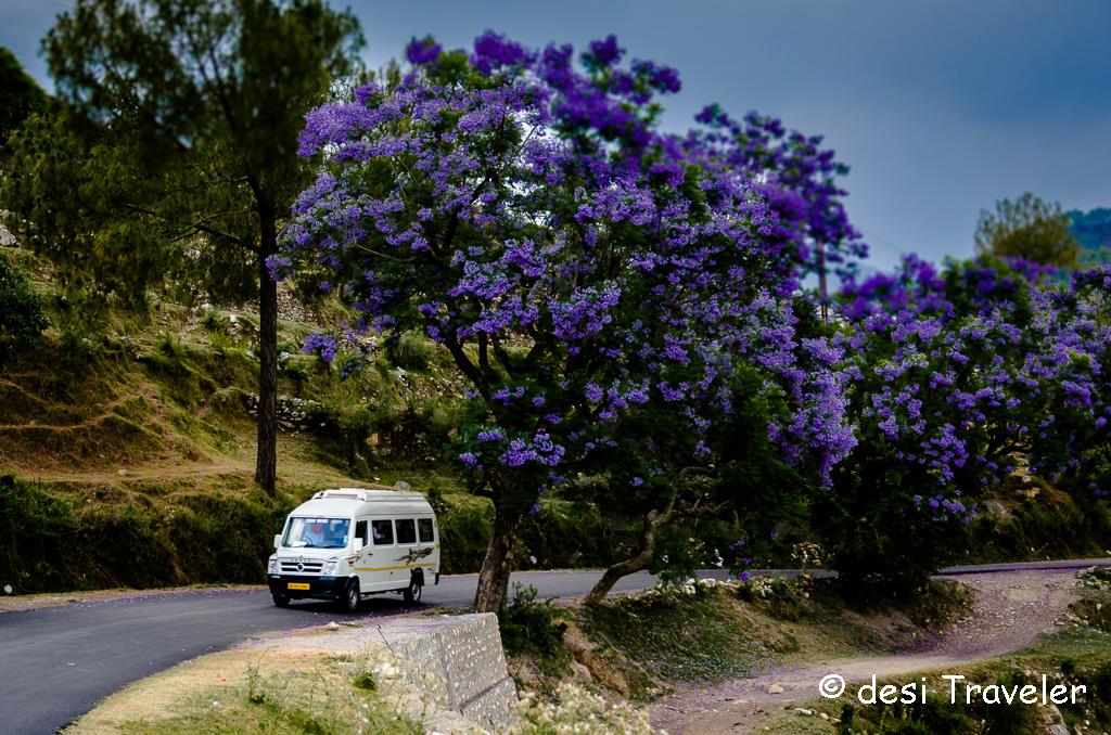 jacaranda tree blue flowers Himalayas