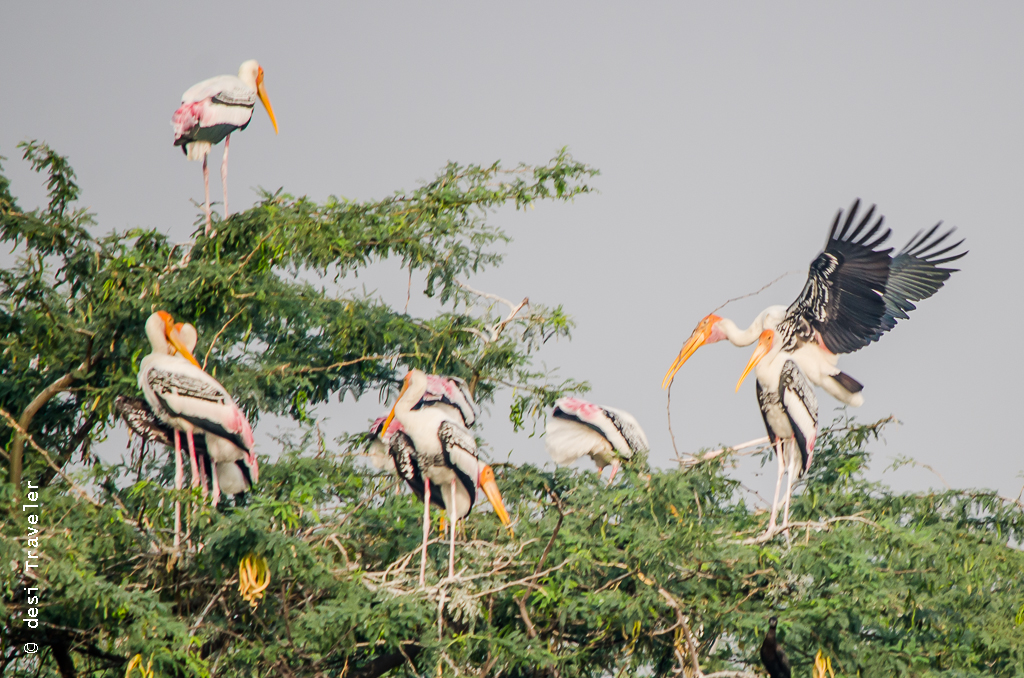 Painted Stork Nesting Sultanpur Bird Sanctuary
