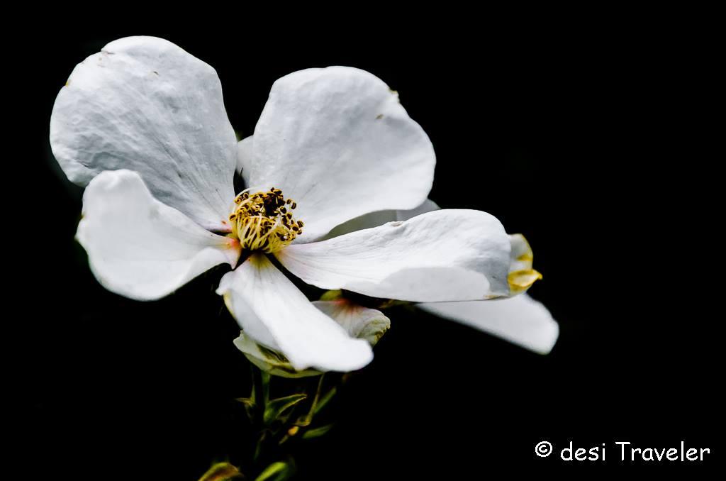 wild rose white Himalayas Kumaon