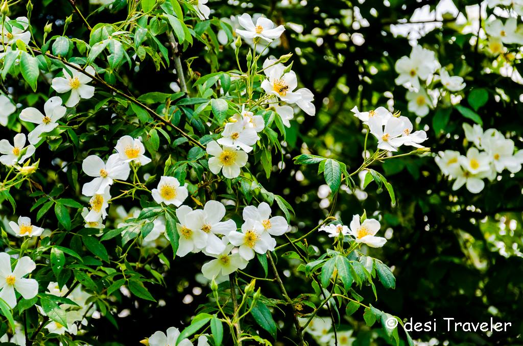 Bush of white wild rose kumaon himalayas
