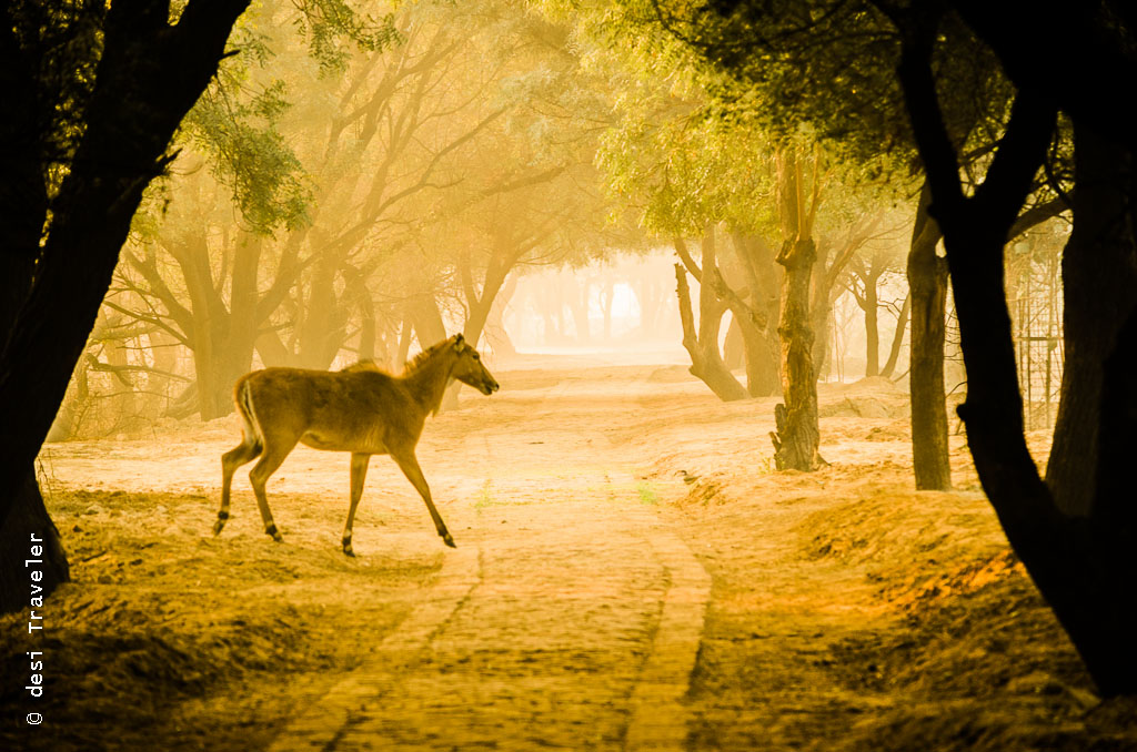 Nilgai Sultanpur Bird Sanctuary