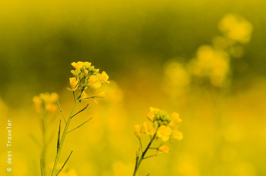 mustard flowers sarson ke phool