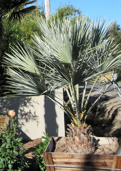 Brahea Armata   -Mex. Blue Fan Palm-
