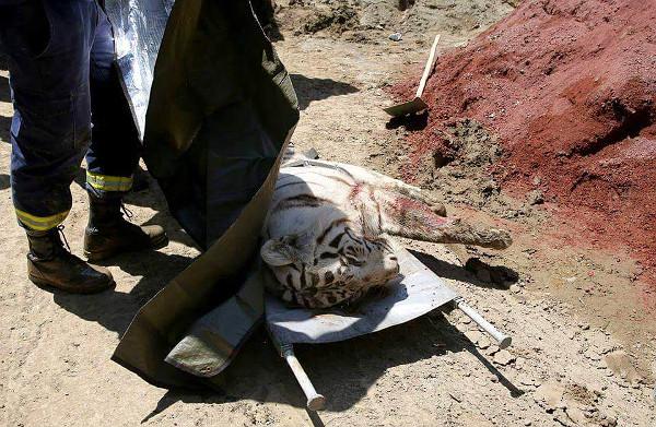dead_tiger_MIA