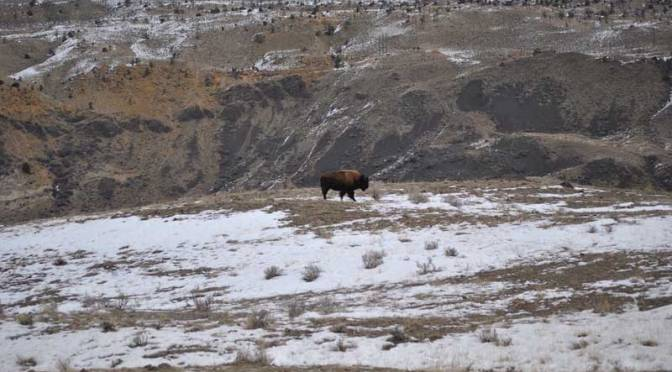 A young bull buffalo walks the hills in the Gardiner Basin. Photo by Stephany Seay, Buffalo Field Campaign.