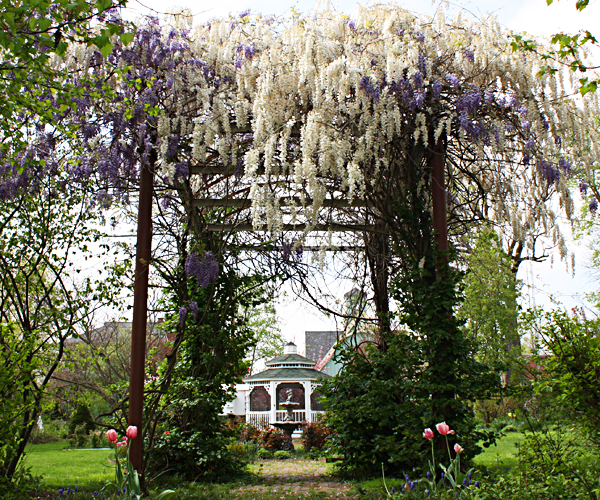 Early spring wisteria