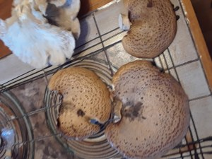 Wild foraged dryad's saddle and oyster mushrooms