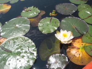 """Lily pads in what Fred Rice called the """"slough"""", a swampy area in the passage to Weller Pond.  We took a lovely detour up into Little Weller Pond as well and encountered many lily pads and sunning turtles, just as Martha had."""