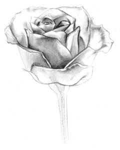 11 Hermosos dibujos a lápiz de rosas (1)