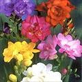 fresia 1.thumbnail Flores da Primavera para Decoração de Casamento