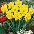 narcisio.thumbnail Flores da Primavera para Decoração de Casamento