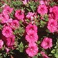 petunia.thumbnail Flores da Primavera para Decoração de Casamento