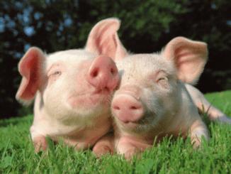 Cochons joyeux