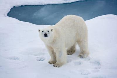 oso polar en polo norte