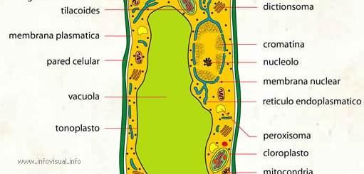 partes de una celula vegetal