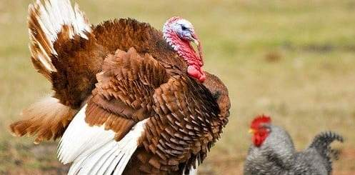 turkey-vs-chicken