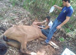 Fiscalização da Arpa flagra maus tratos a animais no interior de Guaporé