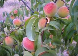 Sistema de Alerta começa a monitorar a presença de mosca-das-frutas em pomares de pessegueiro na Serra